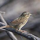 Sparrow by tomryan