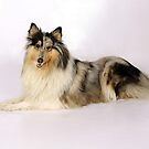 rough collie blue merle laying by marasdaughter