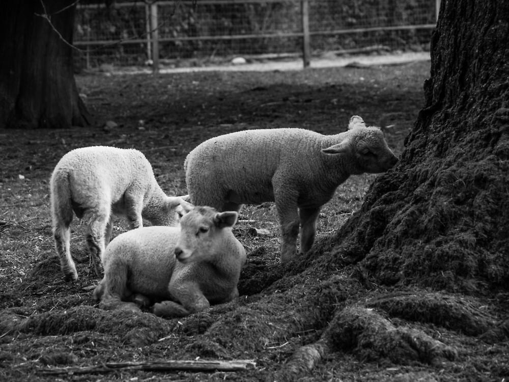 The lambs at Maplewood Farm 3 by Gabriele Maurus