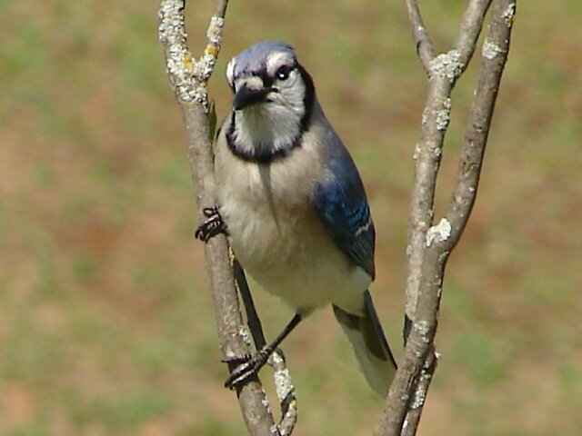 Blue Jay 1 by Jill Ann  O'Mary