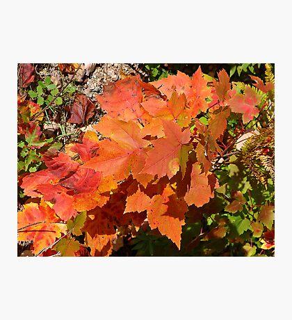 Maple Leaves Photographic Print