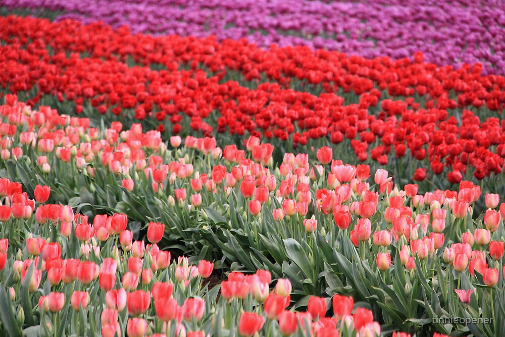More Lots of Tulips!!!!!! by tinnieopener