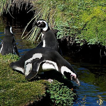 Magellanic Penguins ~ Punta Arenas, Chile by GVAZDesigns