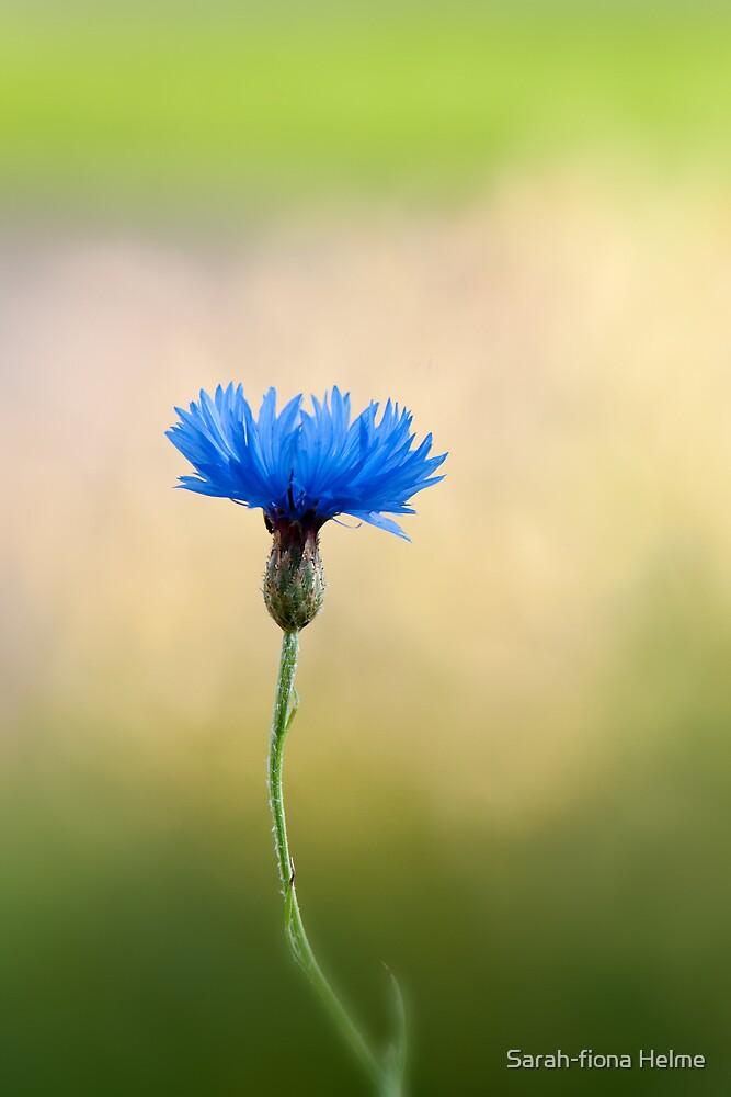 Lone Cornflower by Sarah-fiona Helme