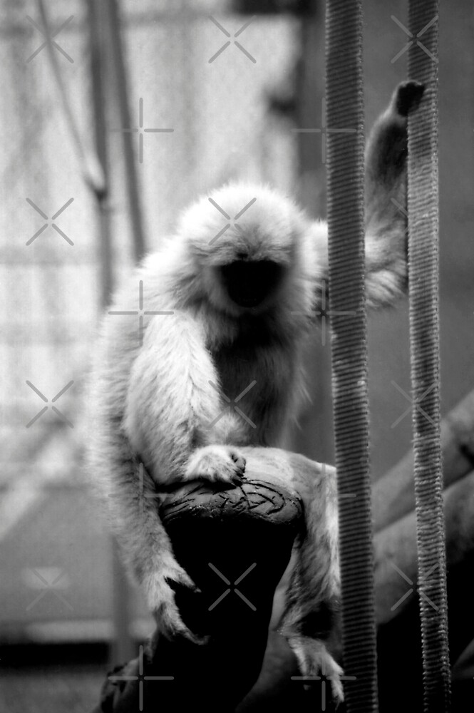 Little Golden Cheeked Gibbon female.. by stellaozza