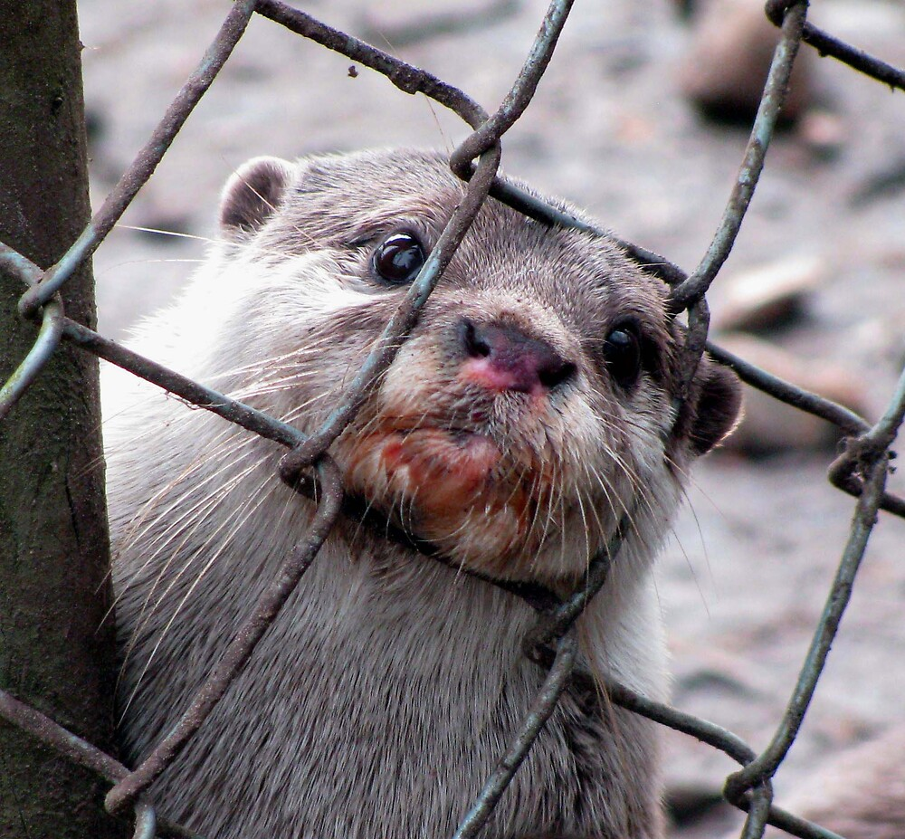 Otter (caged) by Caroline Anderson