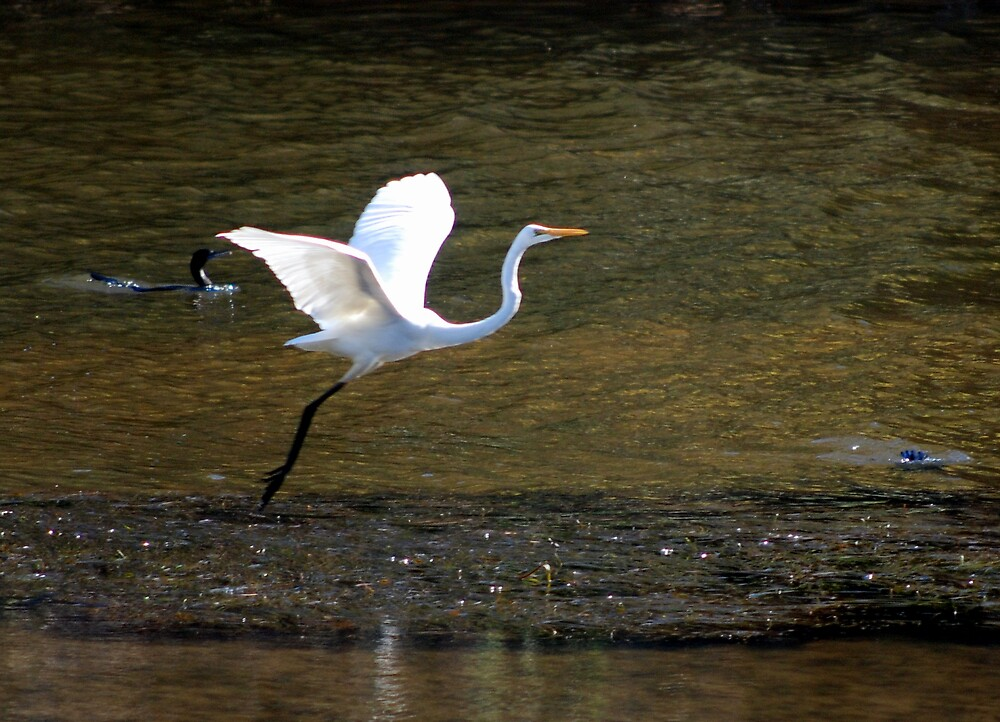 The beautiful large egret landing in the early evening by bobbyverrills
