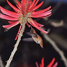 Coral Tree Nectar by Walt Conklin