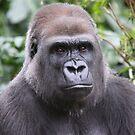 Lowland Gorilla by Steve Bullock
