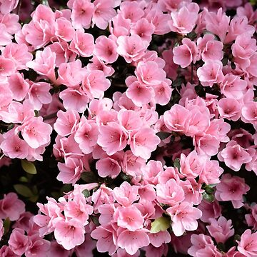 Mini azaleas #floral by andreaanderegg
