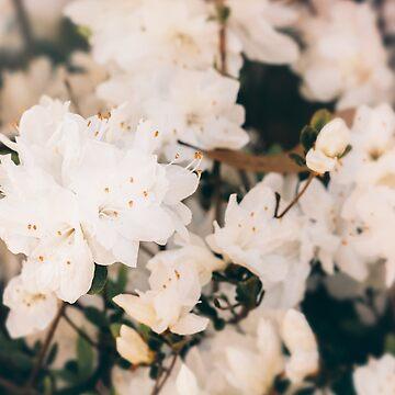 White Mini azaleas #floral by andreaanderegg