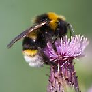 Cuckoo Bee by Carole Stevens