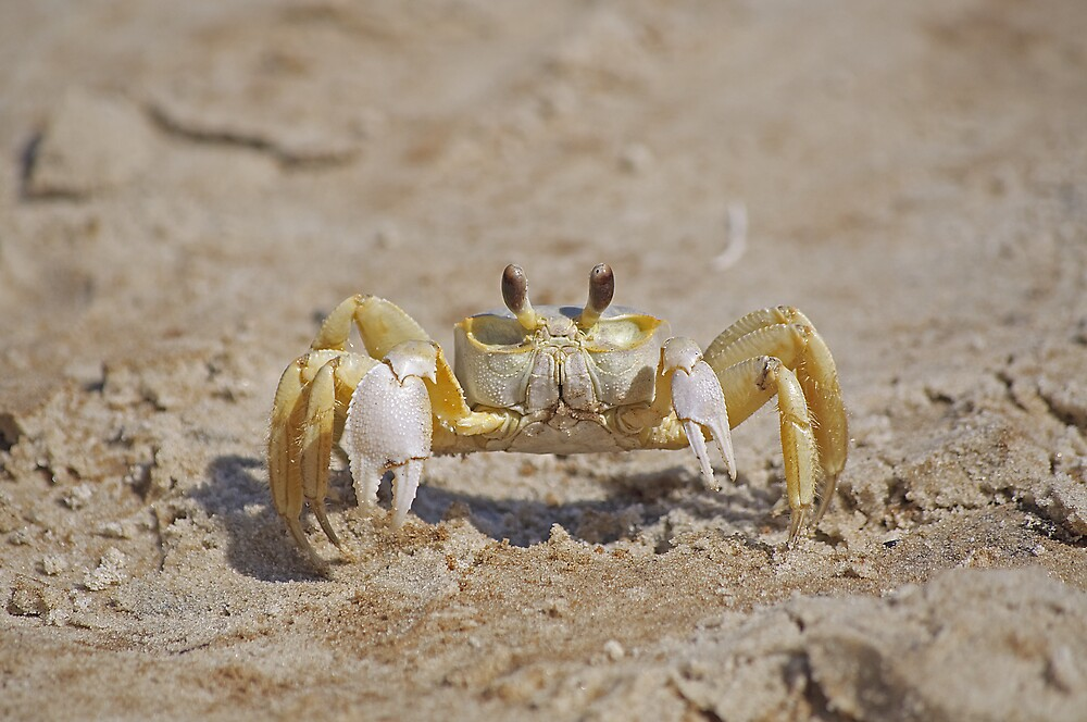 Ghost Crab by Kenneth Albin