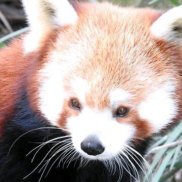 Red Panda by kirstybush