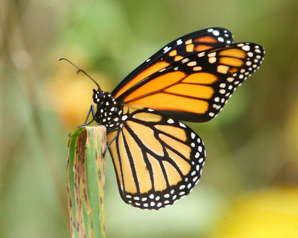 The Monarch Butterfly 2 by DigitallyStill