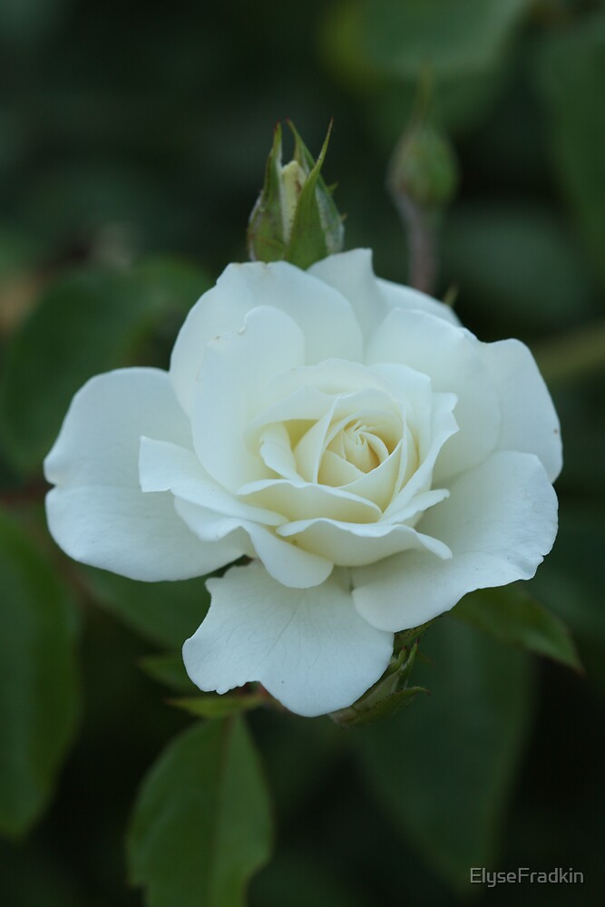 White Rose and Bud by ElyseFradkin