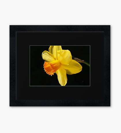 Sunny Yellows Of Daffodil Framed Print