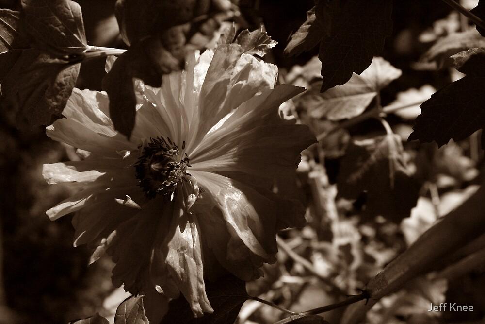 Poppy by Jeff Knee