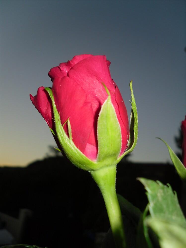 Rose at Dusk  by rhian mountjoy