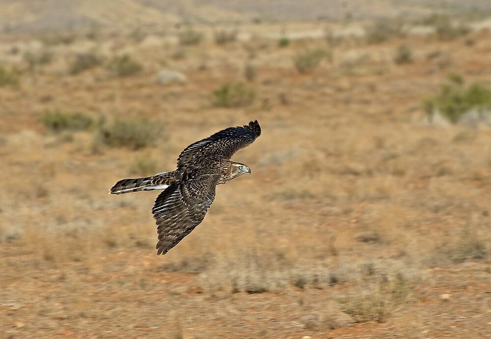 Northern Goshawk in Flight   by raptrlvr
