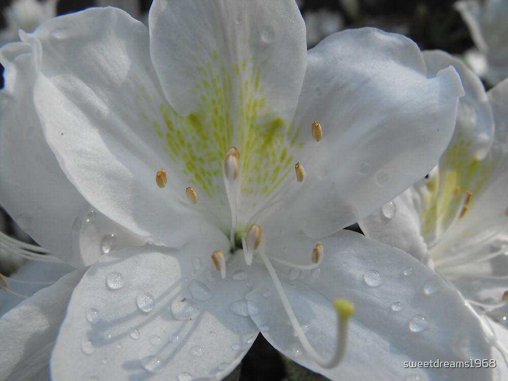 White Drops by Carol Field