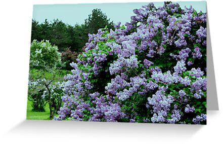 Which Is Bigger Lilacs Or Evergreens by Linda Miller Gesualdo