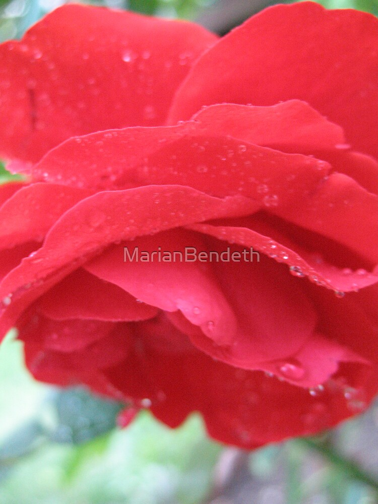 Red Carpet Rose by MarianBendeth