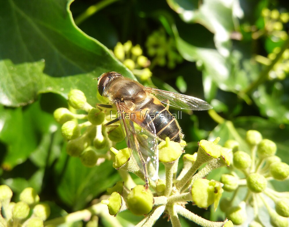 WASP ON THE IVY . by Lilian Marshall