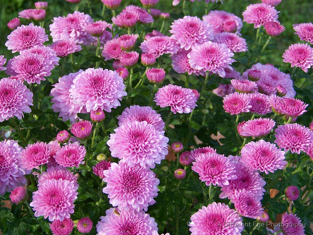 Pillows of Pink by Heather A McGhee