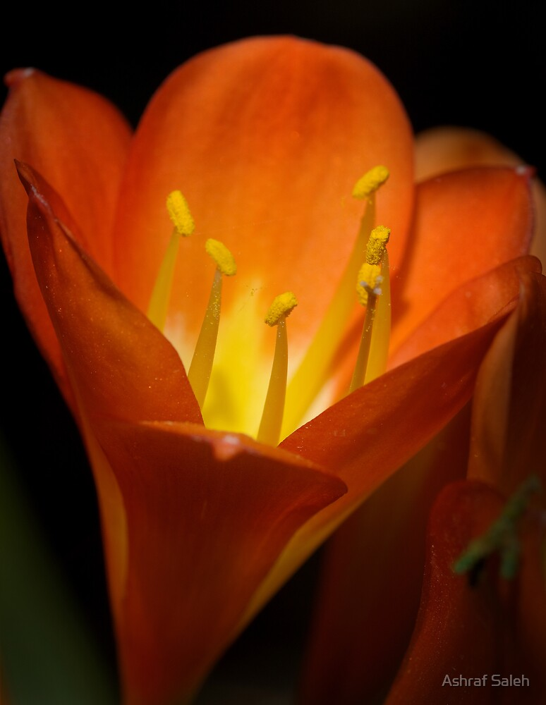 Orange radiance by Ashraf Saleh