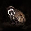 Bearded emperor tamarin by Manfred Belau
