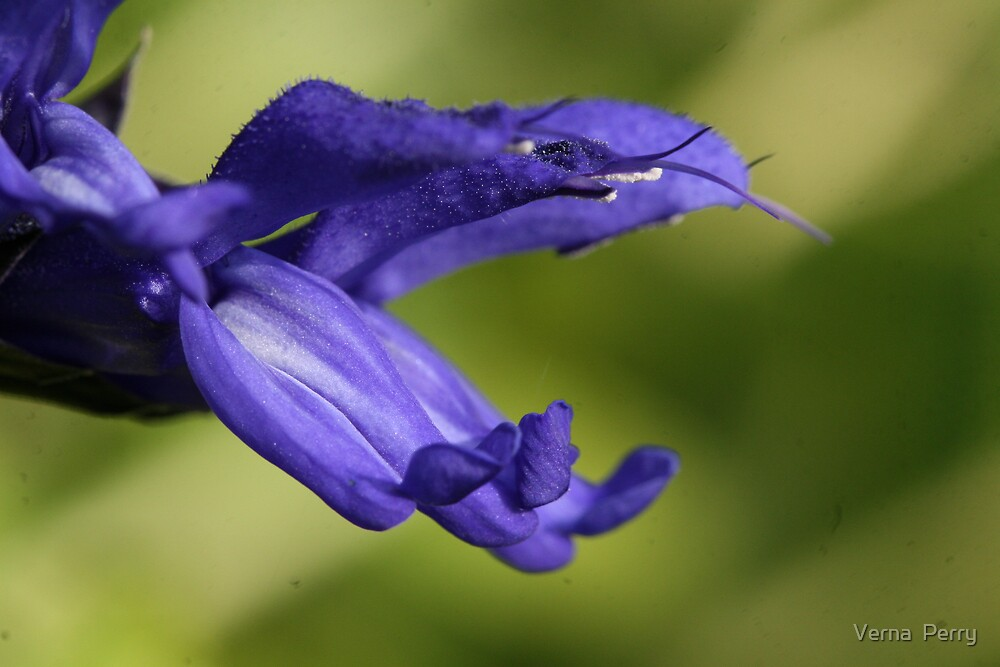 Blue Salvia by Verna  Perry