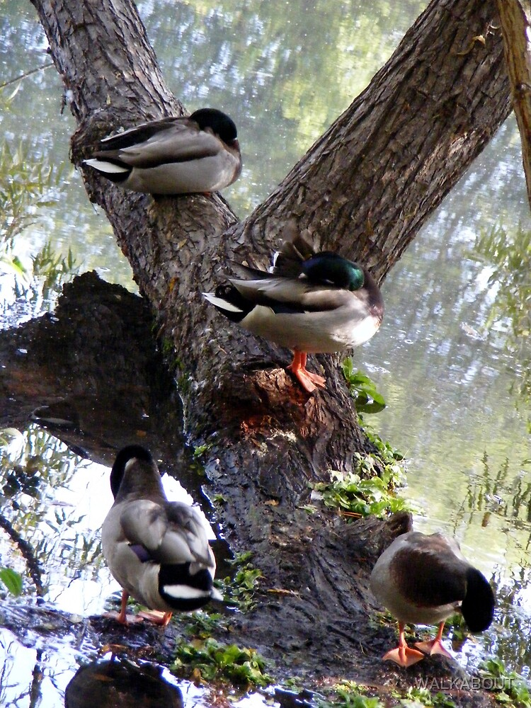 ducks on a tree by WALKABOUT