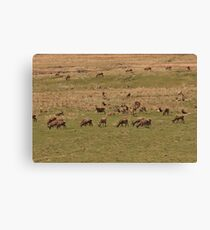 Red Deer Herd at Loch Muick Canvas Print