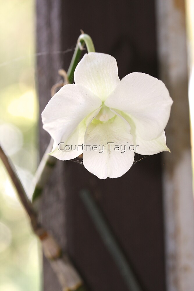 white orchid by Courtney Taylor