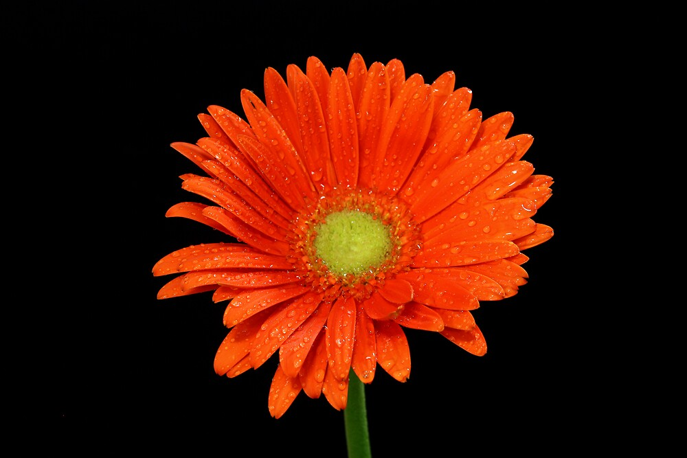 Orange Gerbera by Keith G. Hawley
