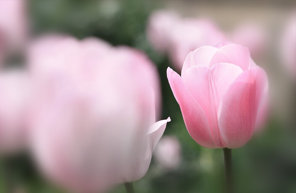 Pink Tulip by chris2766