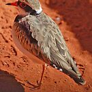 Red-Kneed Dotterel, Northern Territory, Australia by Adrian Paul