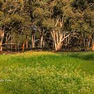 Wind in the Gums, Northham, WA by Malcolm Katon