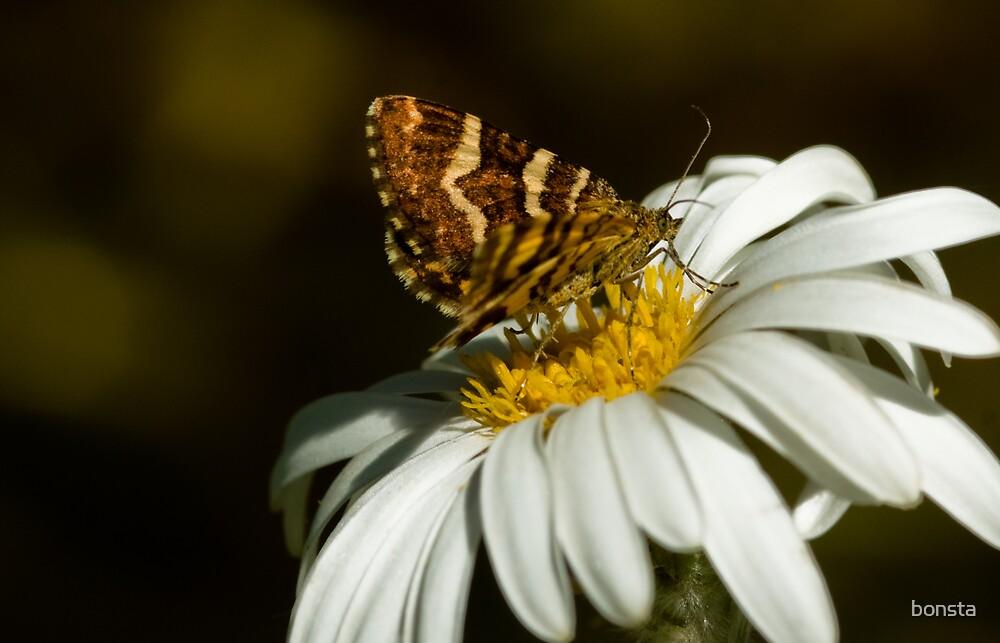 Butterfly on daisy by bonsta