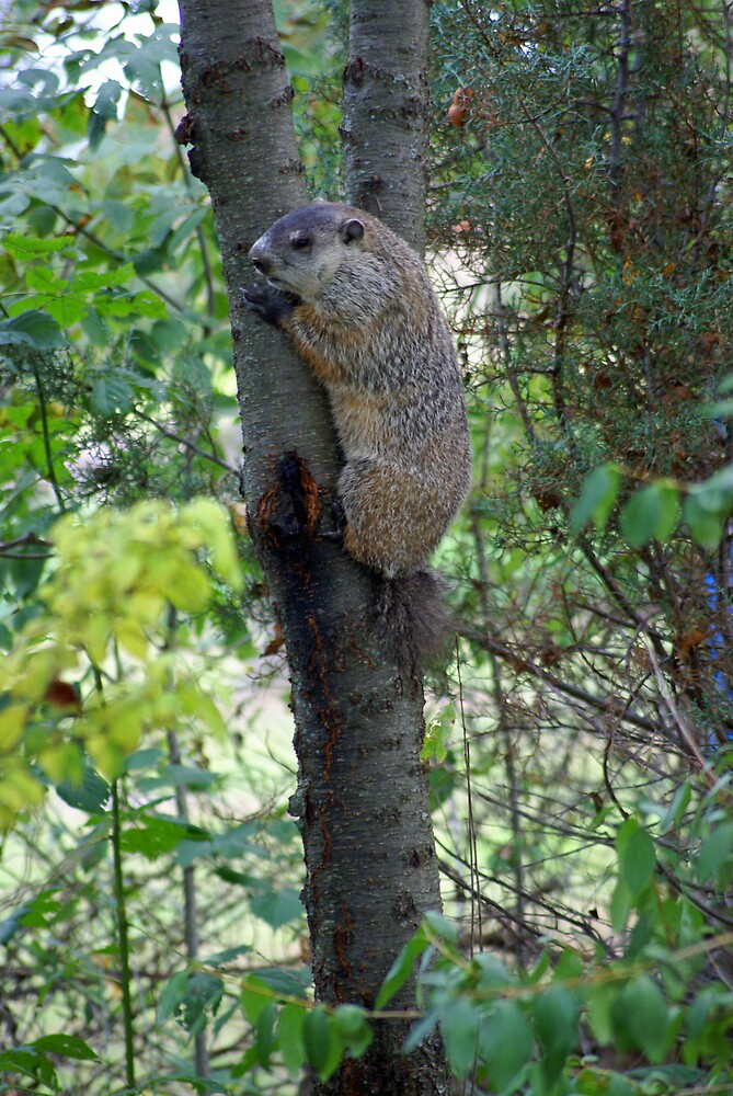 Groundhog in a tree by Cassy Greenawalt