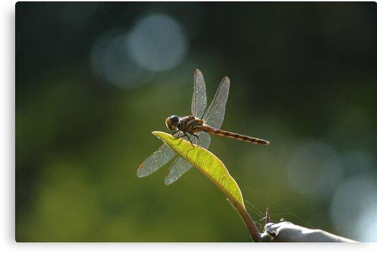 dragonfly by AravindTeki