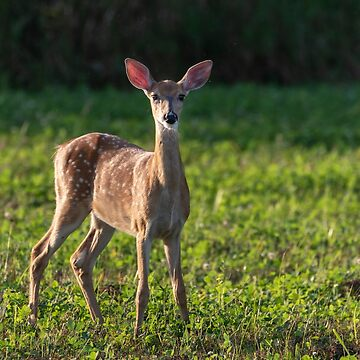White-tailed Fawn 2018-1 by Thomasyoung