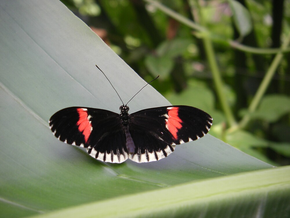 black and red butterfly by Sophie  Fletcher-Tomlinson