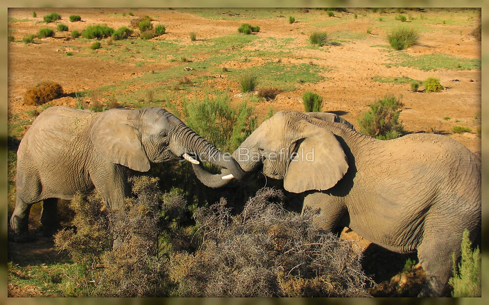 Elephants at Aquilla by Jackie Barefield