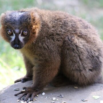 Collared Brown Lemur – Eulemur collaris by Ladymoose