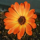 Colour Me Orange! Cute Cape Daisy by BlueMoonRose