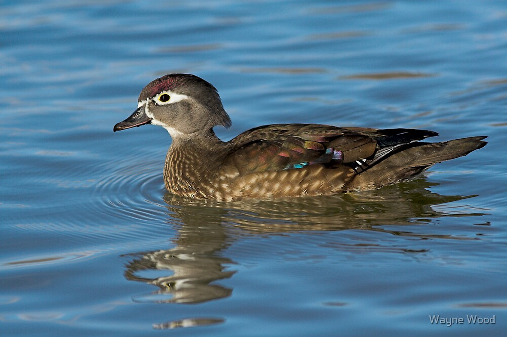Wood duck female by Wayne Wood