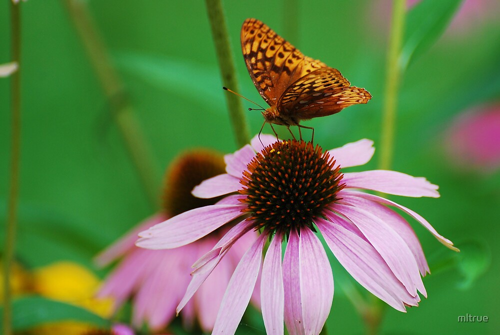 Perched on a Coneflower by mltrue