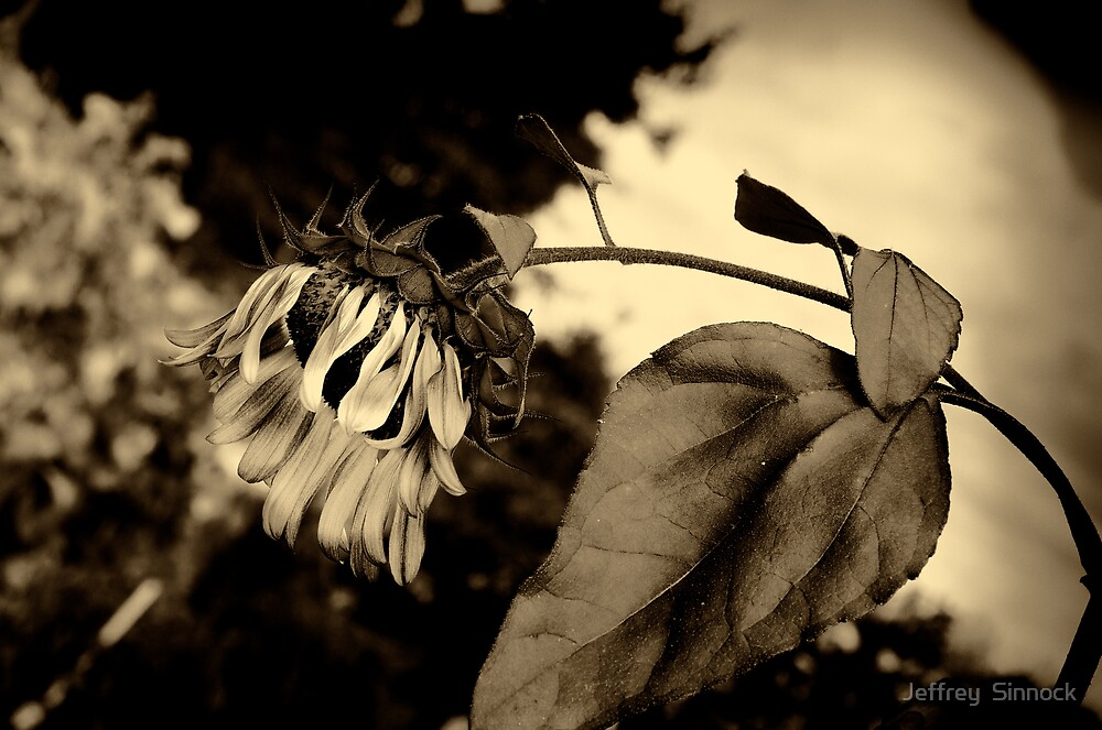 Sunflower in Antique by Jeffrey  Sinnock